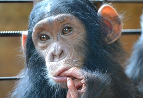 Chimpanzee--Lwiro