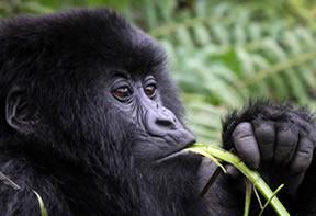Gorilla--Rwanda