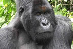 Mt. Gorilla Trek Congo