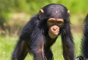 Chimpanzee Tracking Safaris Rwanda