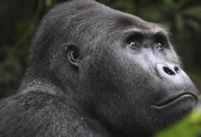 Eastern Lowland Gorillas in COngo