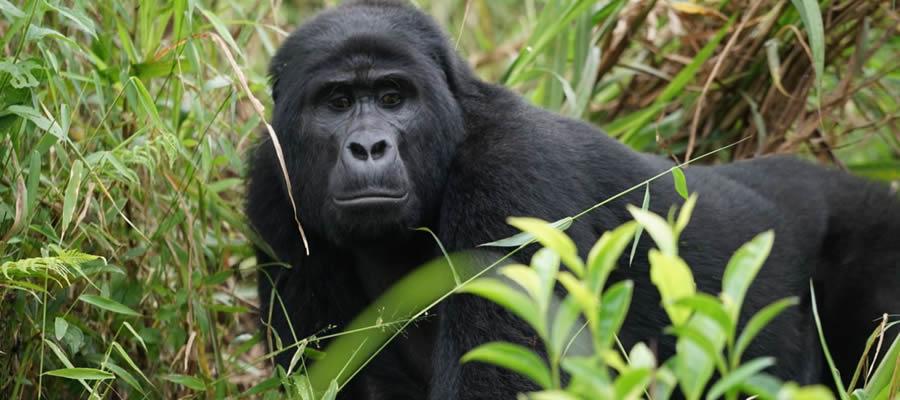 Gorilla Trekking Adventures in Rwanda