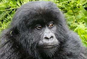 Gorilla Trekking at Bwindi