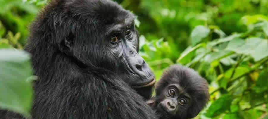 Gorilla Trekking Tours Uganda