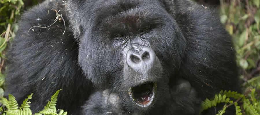 Gorilla Trekking Tour in Ugand