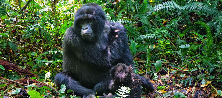 Gorilla Trekking Tours Virunga