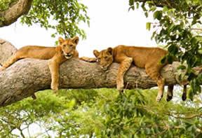 Tree climbing lions Uganda