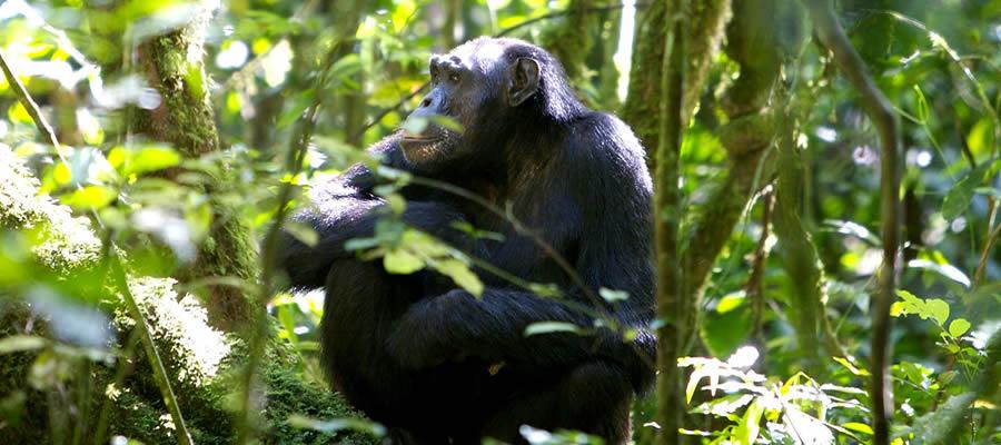 Chimpanzee Tracking Uganda
